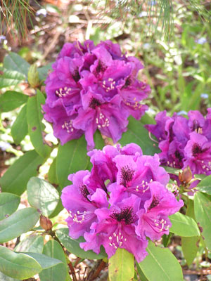 2004-Rhododendrons