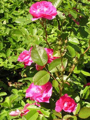 2004-rose