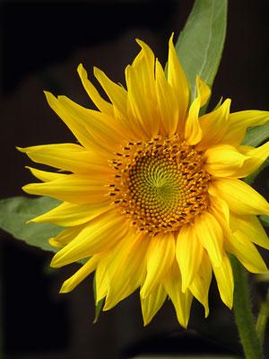 sunflower-2004